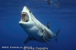 Isla Guadalupe by Greg Zagaglia 